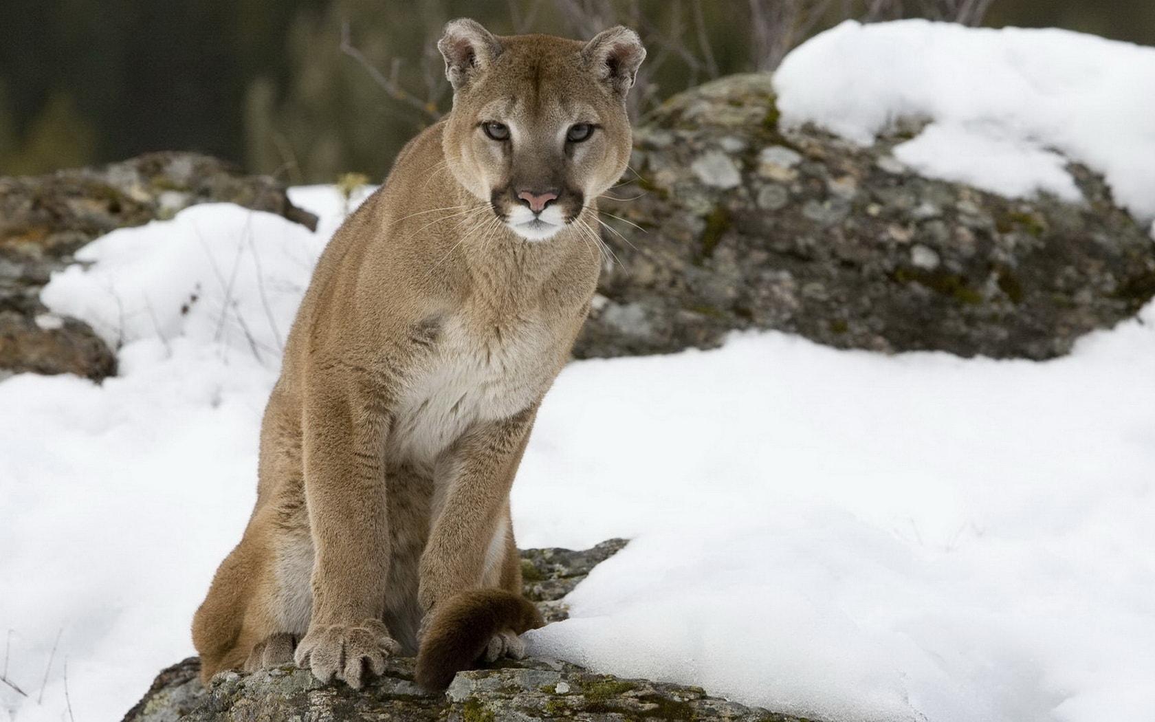 Puma widescreen