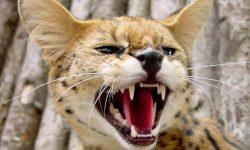 Serval desktop wallpaper