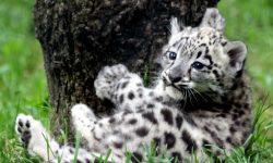 Snow Leopard widescreen