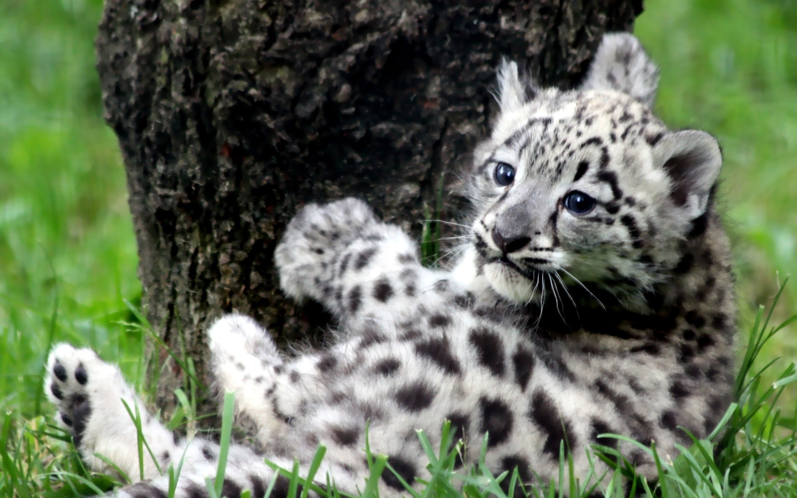 Snow Leopard widescreen