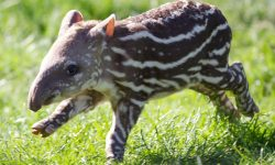 Tapir widescreen