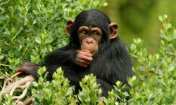 Chimpanzee Wallpapers hd