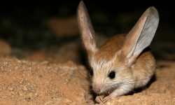 Jerboa Wallpapers hd