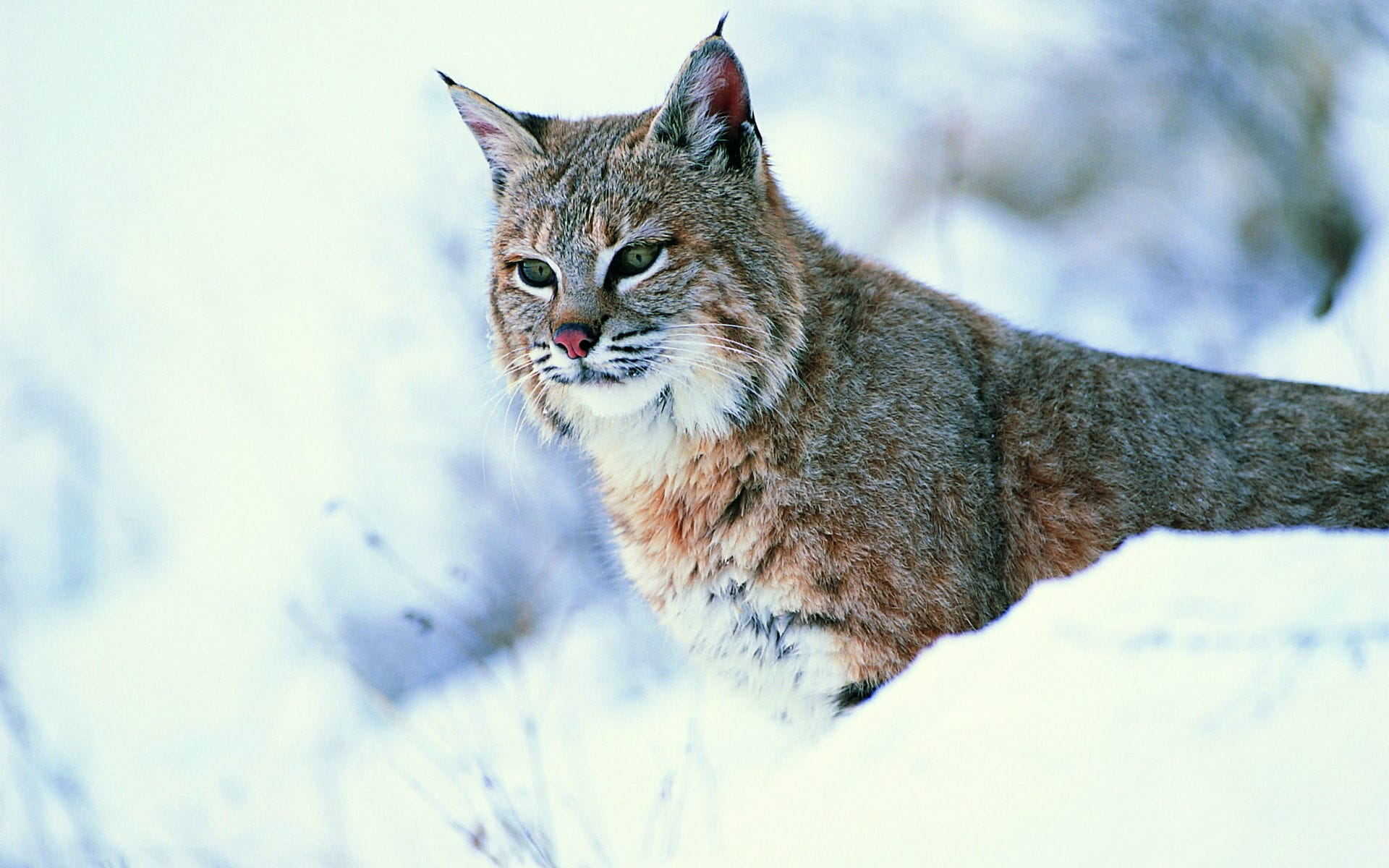 Lynx Wallpapers hd
