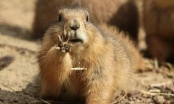 Marmot Wallpapers hd