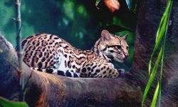 Ocelot Wallpapers hd
