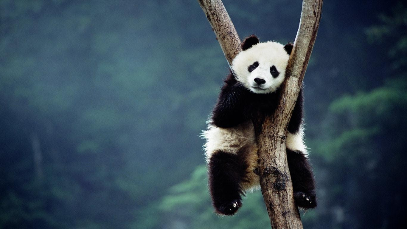 Panda Wide wallpapers