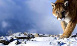 Puma Wallpapers hd