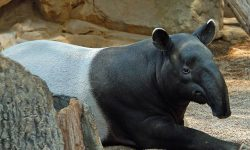 Tapir Wallpapers hd