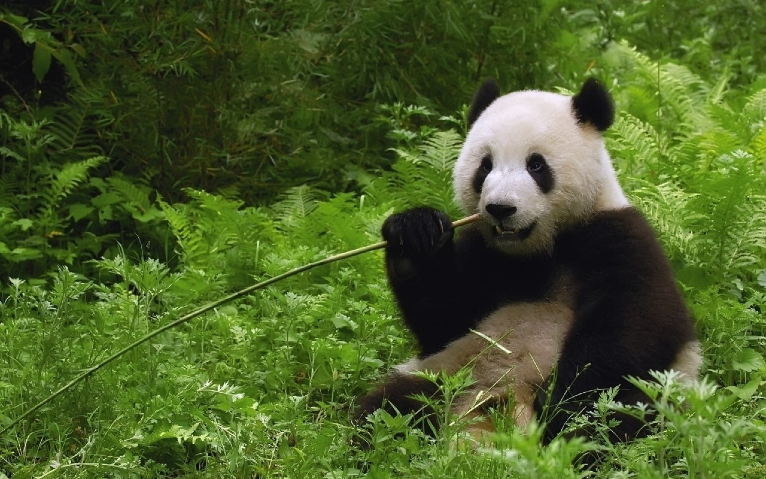 Panda High