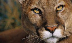 Puma Wallpaper