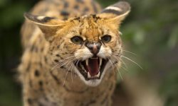 Serval Pictures
