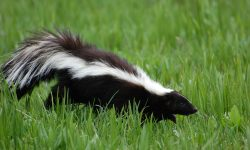 Skunk Backgrounds