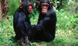 Chimpanzee Backgrounds