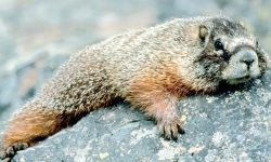 Marmot Backgrounds