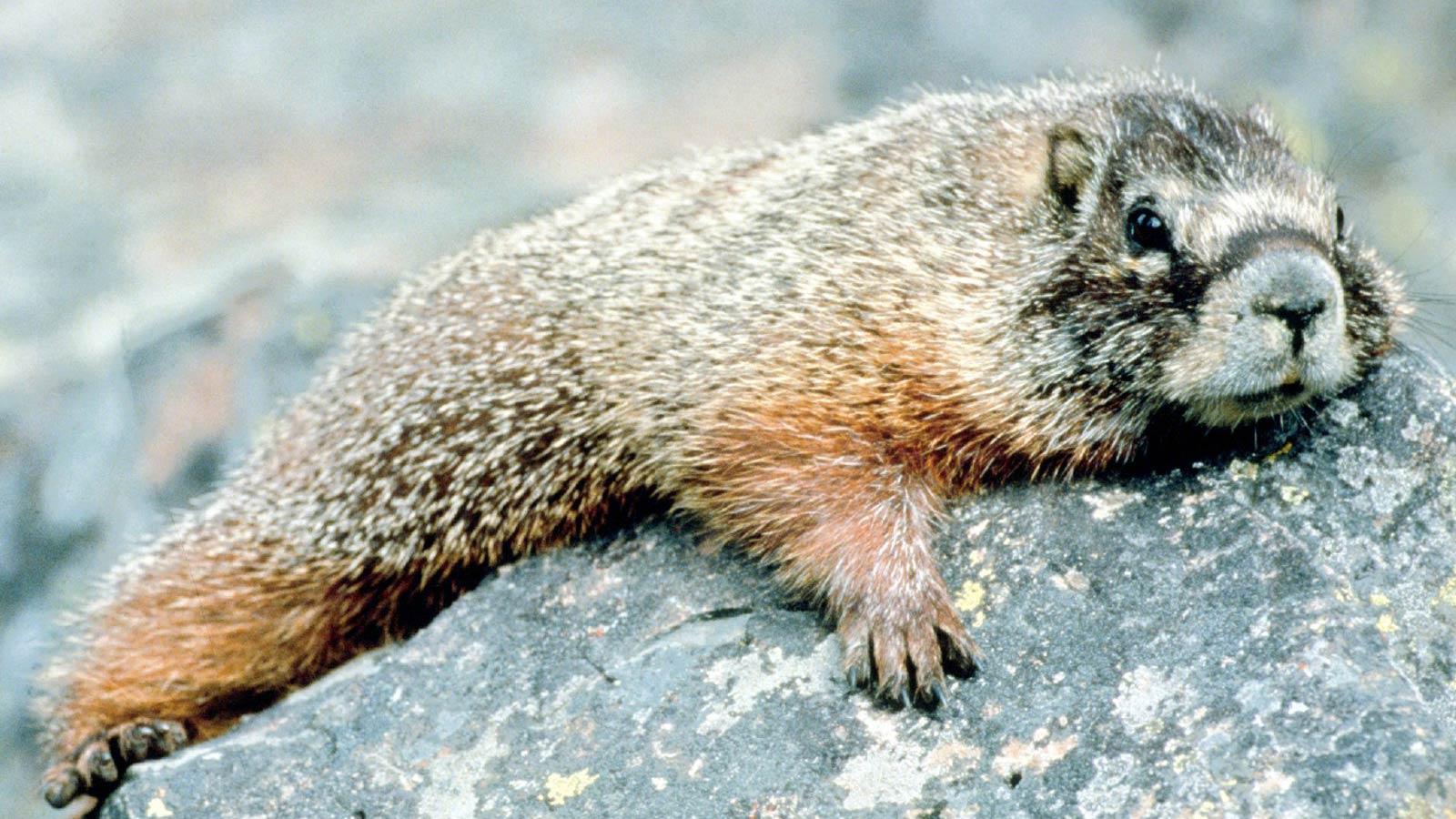 Marmot Backgrounds