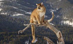Puma Backgrounds