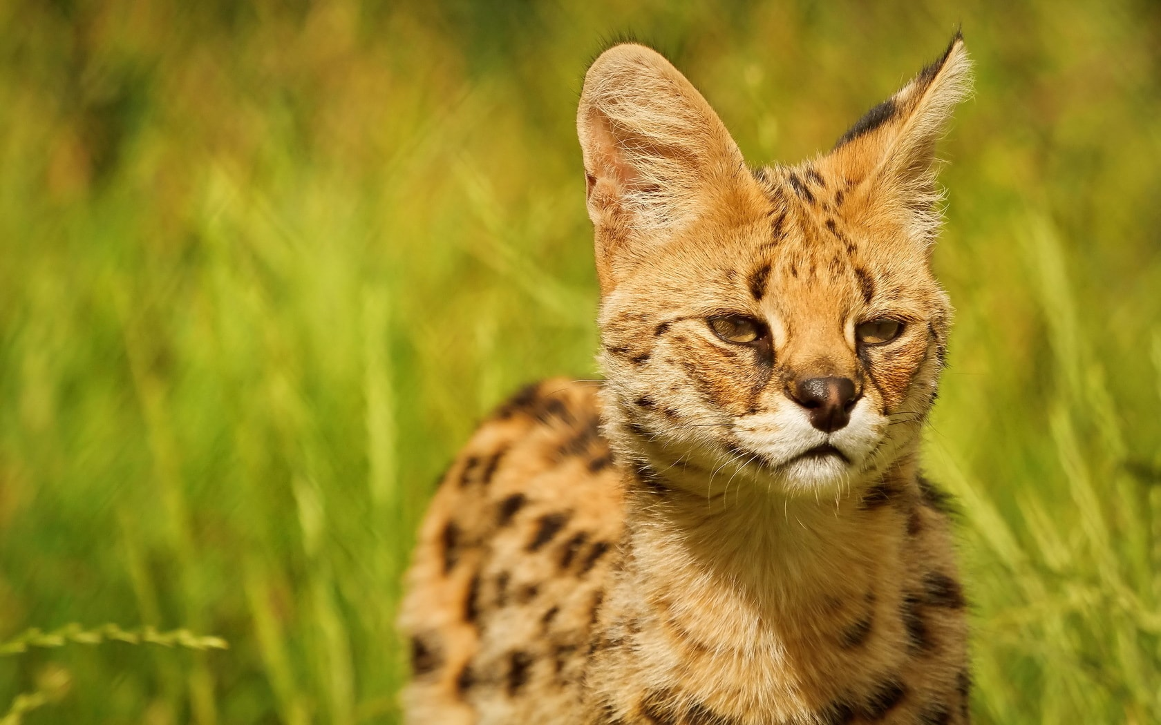 Serval HQ wallpapers