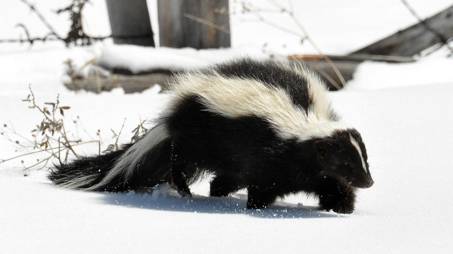 Skunk Pictures