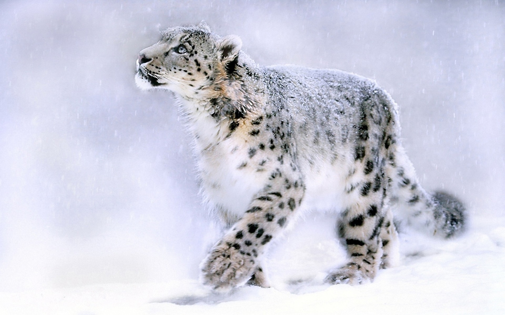 Snow Leopard Backgrounds