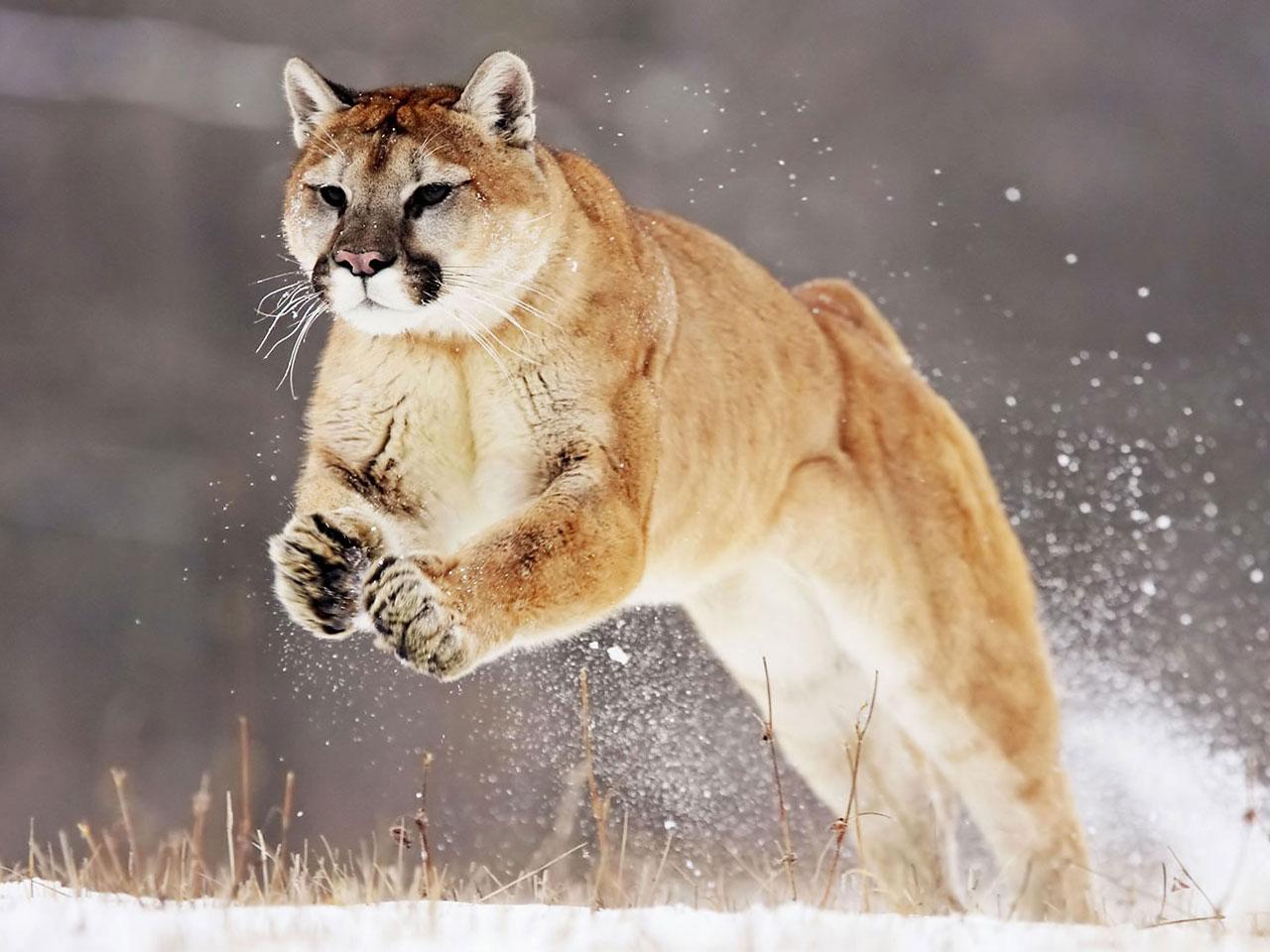 Puma Pictures