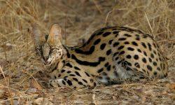 Serval Background