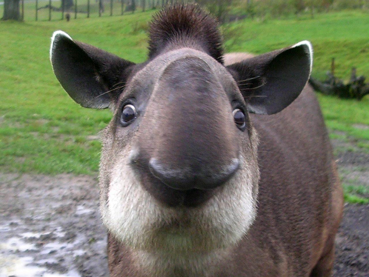 Tapir Pictures