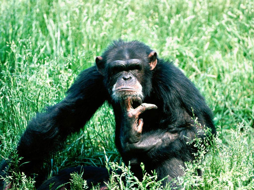 Chimpanzee HQ wallpapers