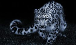 Snow Leopard HQ wallpapers