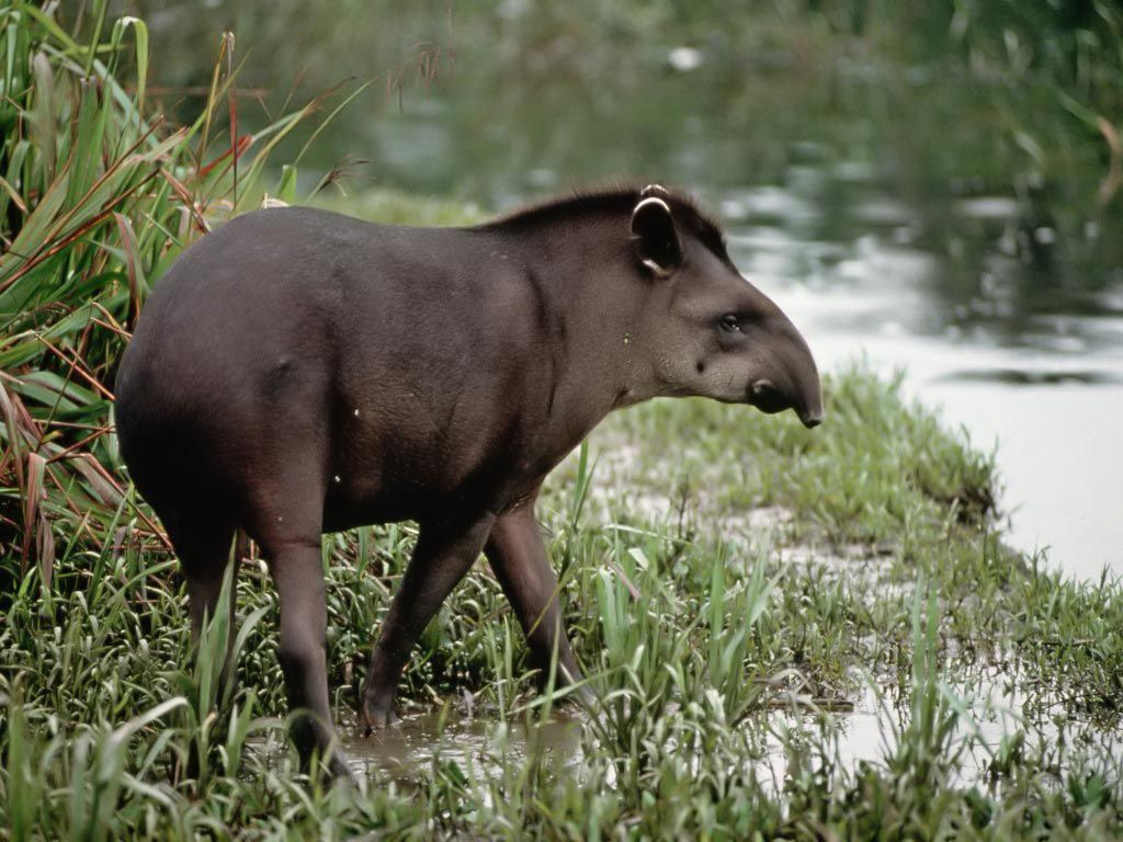 Tapir HD Wallpapers | 7wallpapers net