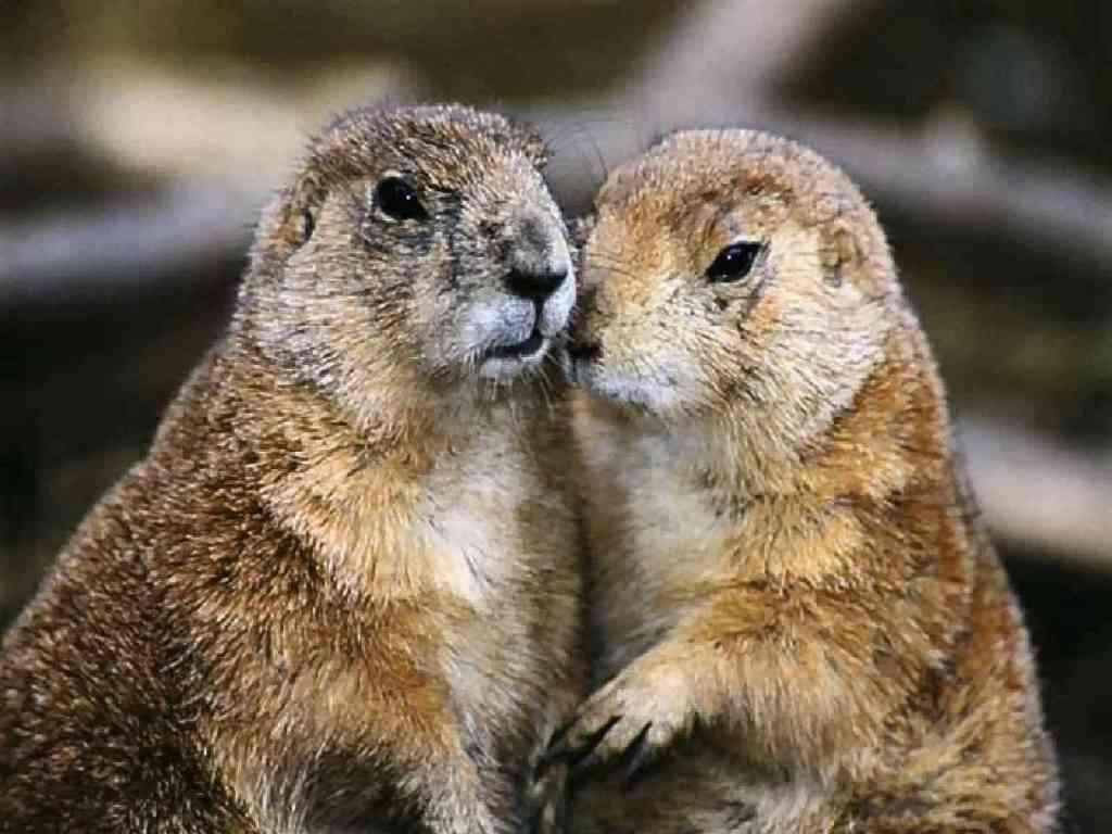 Marmot Background