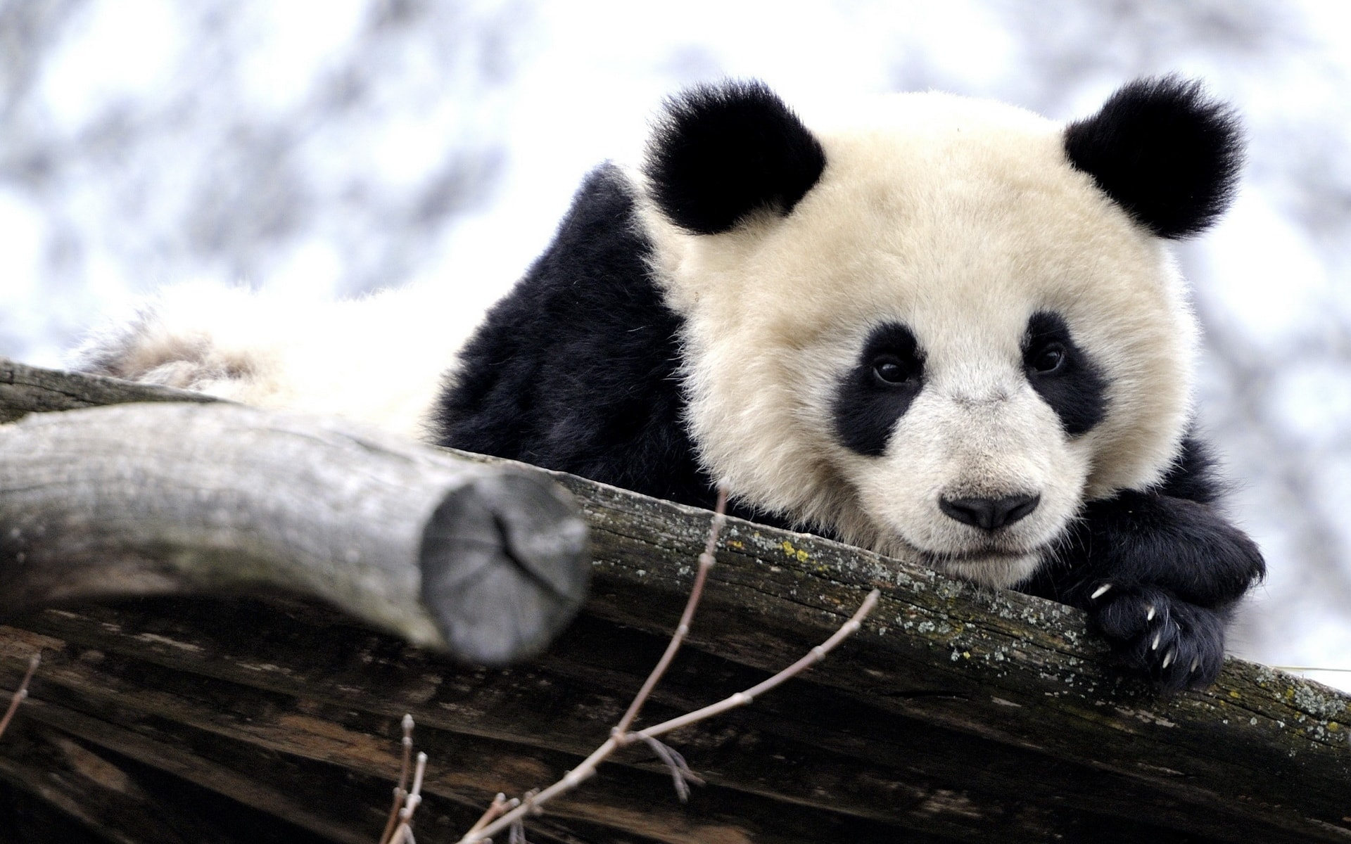 panda pictures hd wallpapers - photo #1