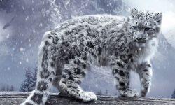Snow Leopard Background