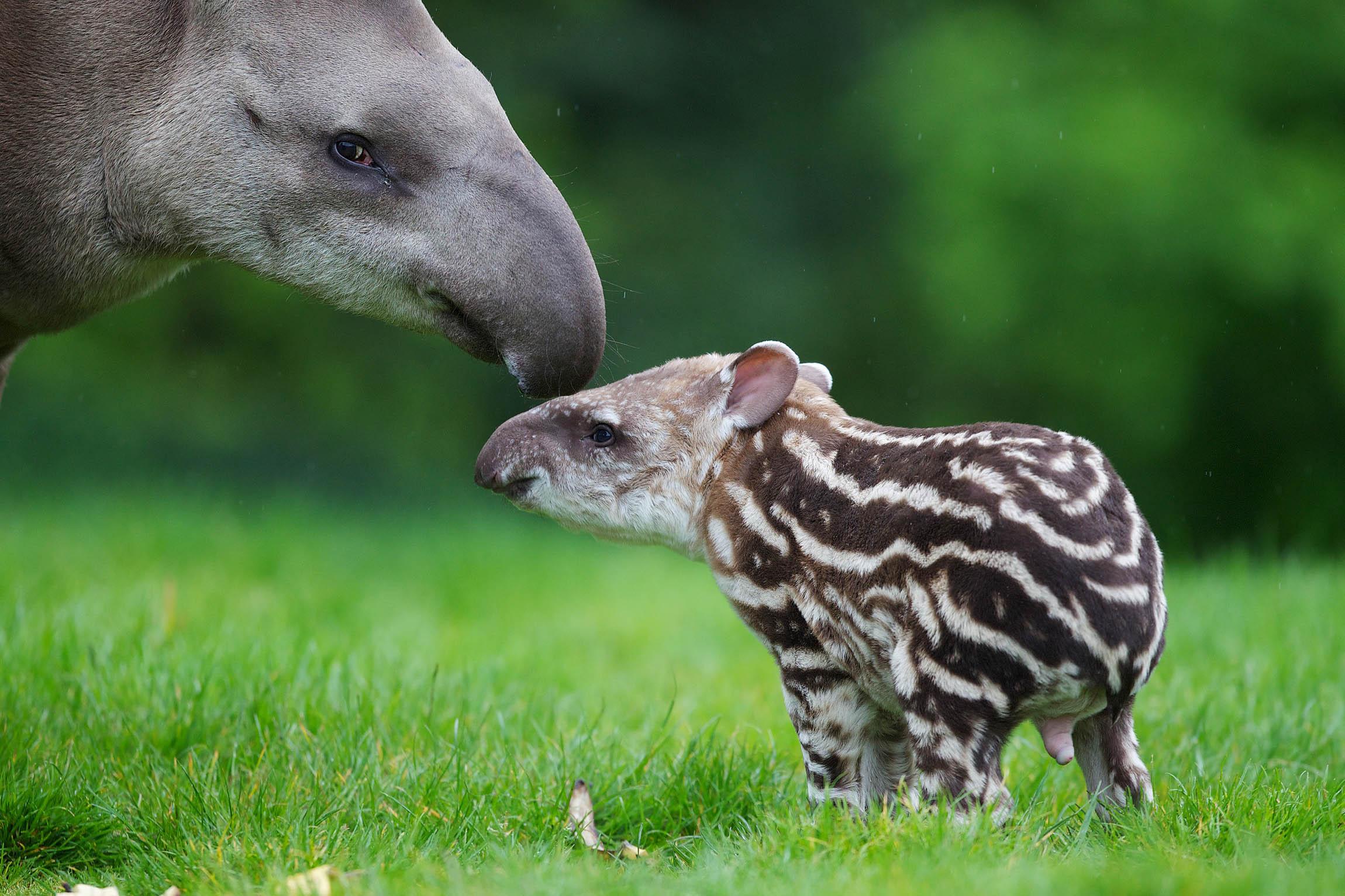 Tapir Background