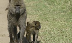 Baboon HD pics