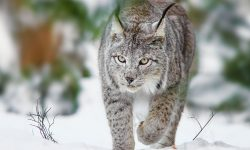 Lynx HD pics