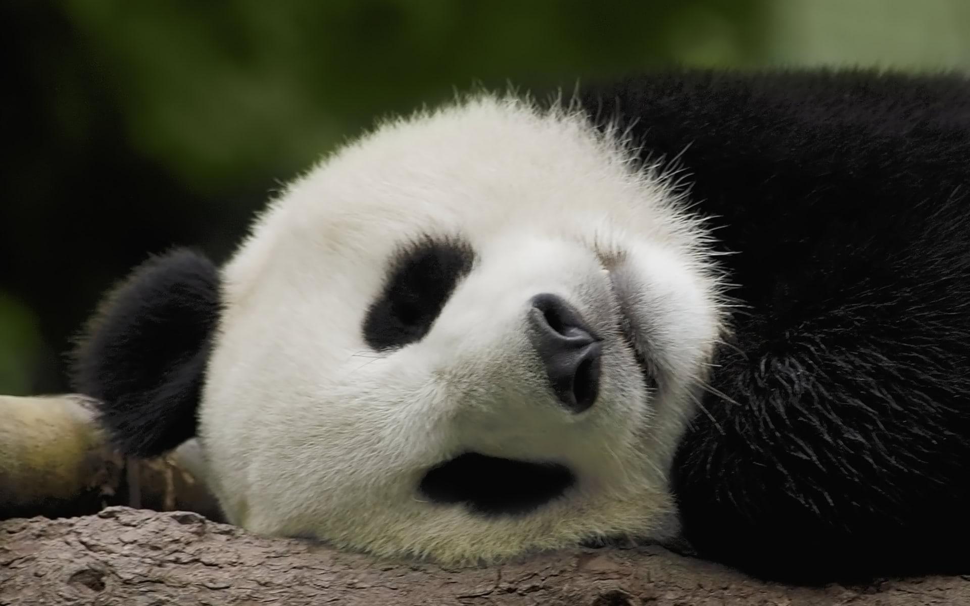 Panda Hd Wallpapers 7wallpapersnet