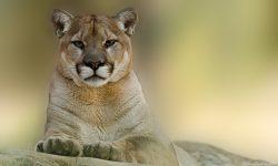 Puma HD pics