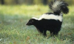Skunk HD pictures