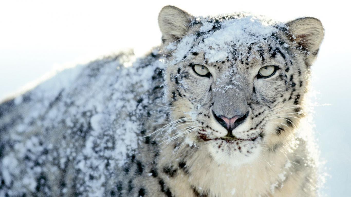 Snow Leopard HD pics