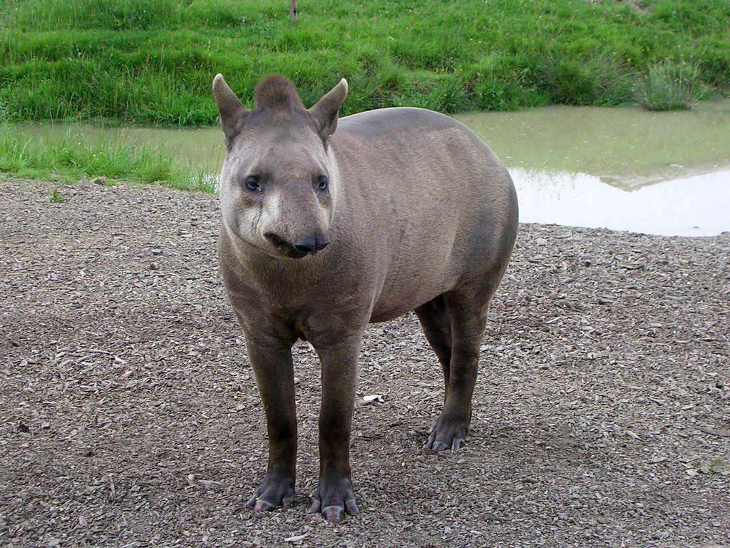 Tapir HD pics