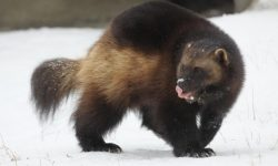 Wolverine HD pics