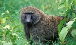 Baboon HD pictures