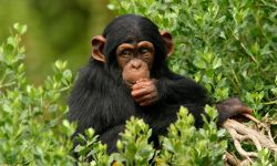 Chimpanzee HD pictures