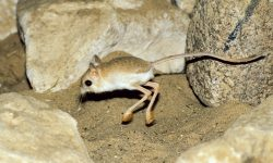 Jerboa HD pictures