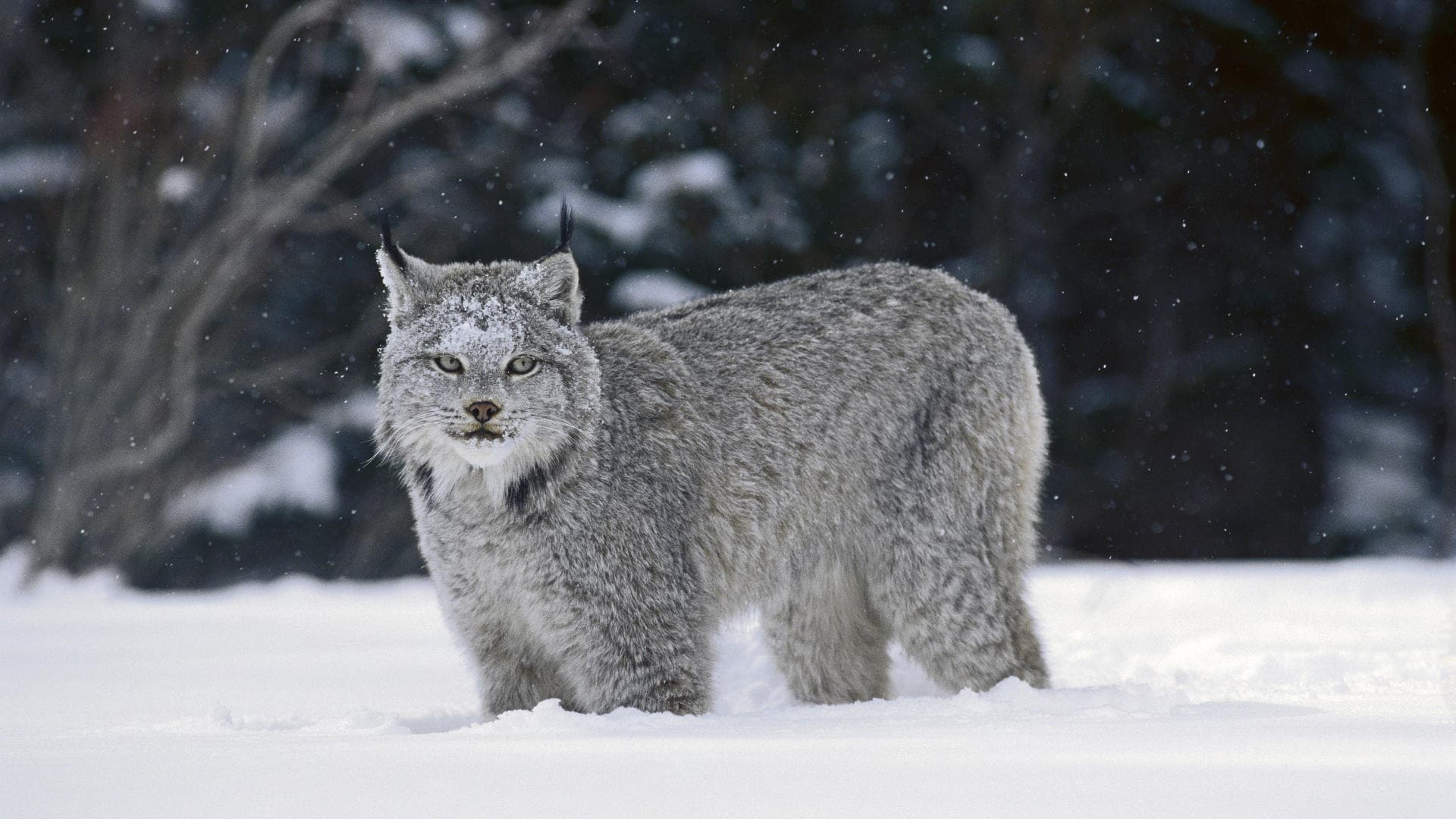 Lynx HD pictures