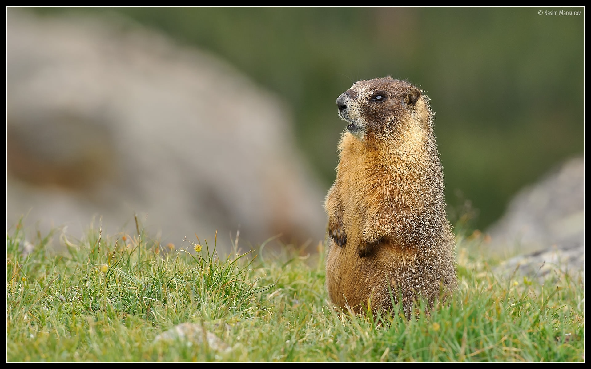 Marmot HD pictures