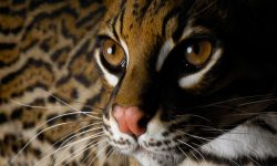 Ocelot HD pictures
