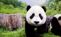 Panda widescreen for desktop