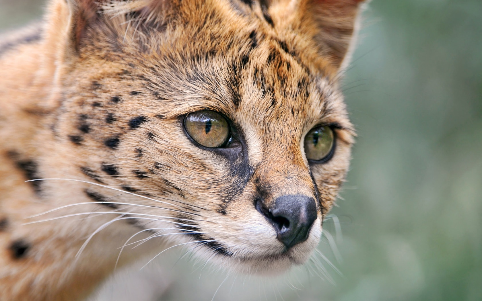 Serval HD pictures